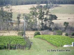 North Tasmanian vineyard, with frost protection