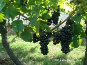 South Gippsland pinot noir