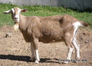 A Fairview Goat