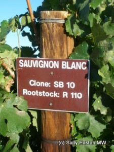 Sauvignon blanc at Cederberg