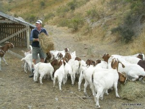 Looking after the goats at Felton Road