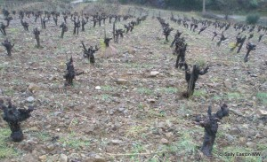 Rybeyrenc vines on schist slopes