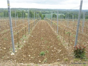 South-facing Hattingley vineyard