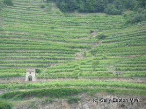Steep Wachau vineyards