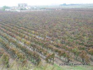 Sea-level Jaddico Vineyard at Brindisi