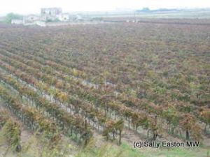 Jaddico vineyard, Brindisi