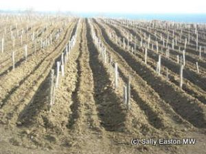 Vines buried against the winter freeze
