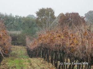 Polvanera vineyard
