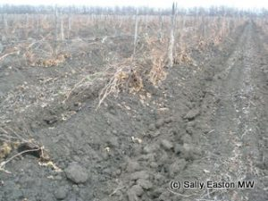 Buried krasnostop vines