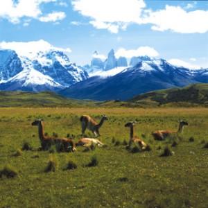 Llamas in Patagonia